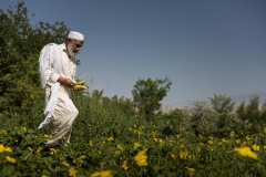 Man plucking vegetables in Jalalabad