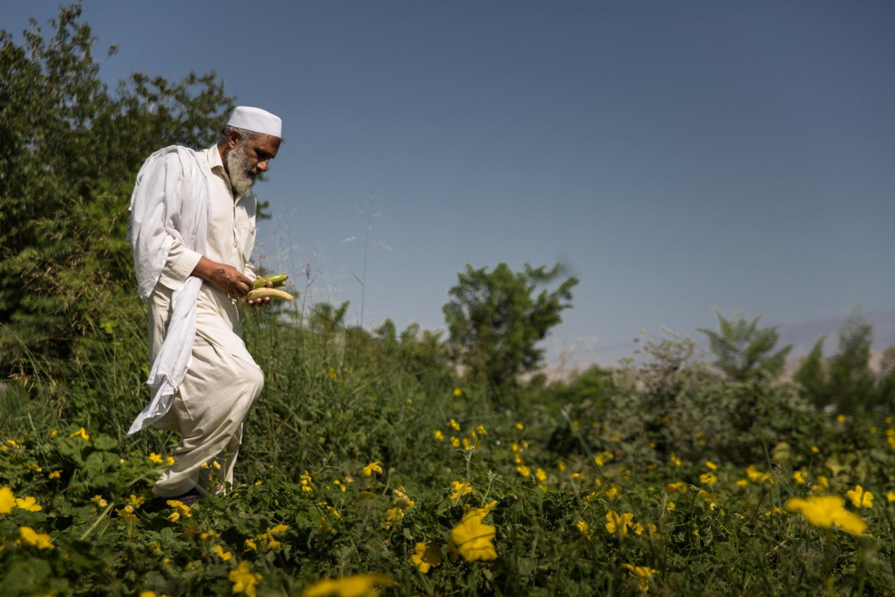 Man plucking vegetables in Jalalabad